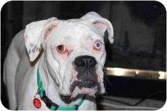 Boxer Dog for adoption in Davis, California - Chai
