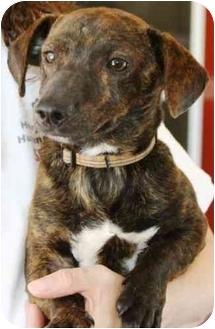 Dachshund Dog for adoption in McDonough, Georgia - Gavin