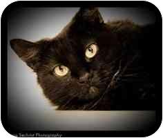 Domestic Longhair Cat for adoption in Cambridge, Massachusetts - Carmen