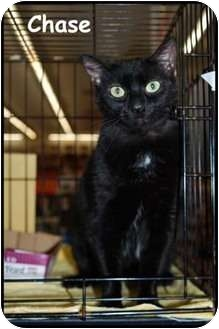 Domestic Shorthair Cat for adoption in Merrifield, Virginia - Chase