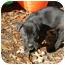 Photo 2 - Labrador Retriever Mix Puppy for adoption in Richburg, South Carolina - Oreo