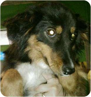 Sheltie, Shetland Sheepdog Mix Dog for adoption in BLACKWELL, Oklahoma - Hope