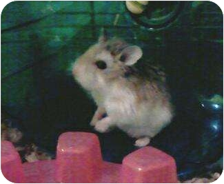 Hamster for adoption in Saint Clair Shores, Michigan - Robo Dwarf Hamsters