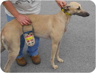 Greyhound Dog for adoption in Knoxville, Tennessee - Blaze