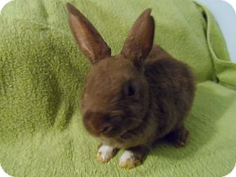 Mini Rex Mix for adoption in Hillside, New Jersey - Tiny