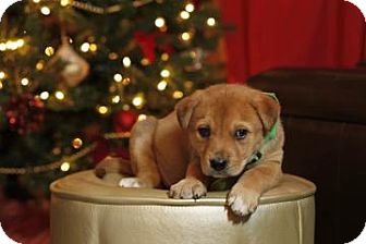 Shepherd (Unknown Type)/Golden Retriever Mix Puppy for adoption in Westminster, Colorado - Caliber
