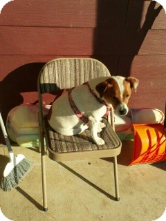 "Jack Russell Terrier Dog for adoption in Estes Park, Colorado - ""Keenan"" (Courtesy Listing)"