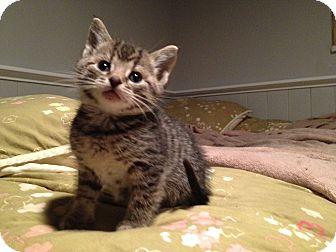 Domestic Shorthair Kitten for adoption in Chicago, Illinois - Georgie