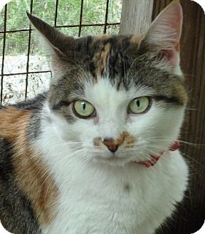 Domestic Shorthair Cat for adoption in Milton, Massachusetts - Maggie May