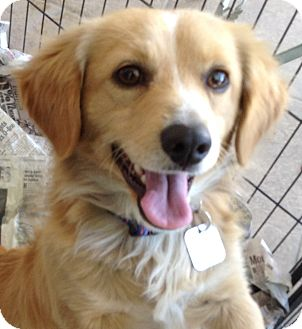 Sheltie, Shetland Sheepdog/Spaniel (Unknown Type) Mix Dog for adoption in Santa Ana, California - Rusty