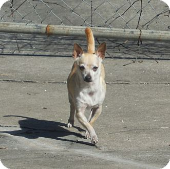 Chihuahua Dog for adoption in Ormond Beach, Florida - Pebbles
