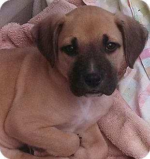Mastiff/Labrador Retriever Mix Puppy for adoption in Bedminster, New Jersey - Jude-adoption pending