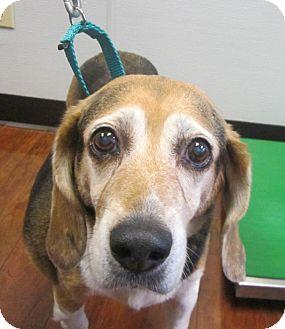 Beagle Dog for adoption in Oak Ridge, New Jersey - Ashley