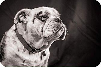 English Bulldog Dog for adoption in Columbus, Ohio - Tonka