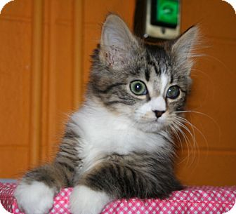 Domestic Shorthair Kitten for adoption in Knoxville, Tennessee - Comet