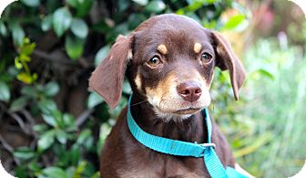 Miniature Pinscher Mix Puppy for adoption in Los Angeles, California - Dewey
