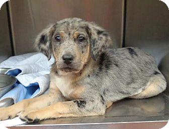Catahoula Leopard Dog Mix Puppy for adoption in Marietta, Georgia - TABBIE
