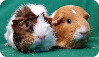 Guinea Pig for adoption in Lewisville, Texas - Antoinette and Anaise
