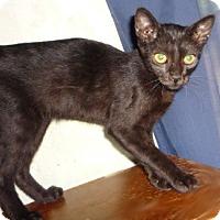 Adopt A Pet :: Panther - Dallas, TX