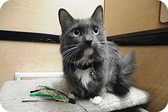 Domestic Shorthair Cat for adoption in Riverside, California - Marie