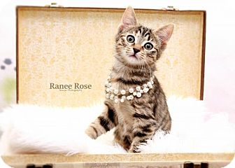 Domestic Shorthair Kitten for adoption in Sterling Heights, Michigan - Olive