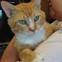 Domestic Shorthair Cat for adoption in Smyrna, Georgia - Liam