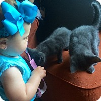 Adopt A Pet :: Jungle Book Kitties - Sterling Hgts, MI