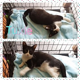 Domestic Shorthair Kitten for adoption in Kennedale, Texas - Tuxie