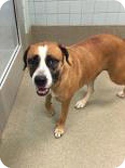 Bulldog Mix Dog for adoption in Columbus, Georgia - Mika 1C23