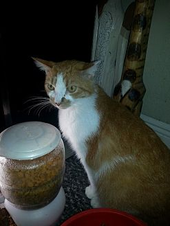 Domestic Shorthair Cat for adoption in Sunny Isles Beach, Florida - Sassy