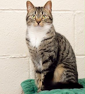 Domestic Shorthair Cat for adoption in Long Beach, New York - Ariel