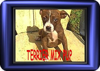 Terrier (Unknown Type, Medium) Mix Puppy for adoption in Cushing, Oklahoma - x PUPPy adopted