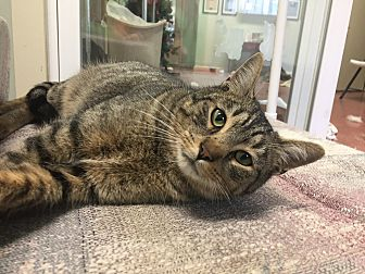 Domestic Shorthair Cat for adoption in Tioga, Pennsylvania - Kokomo