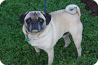 Pug Dog for adoption in West Nyack, New York - Archie