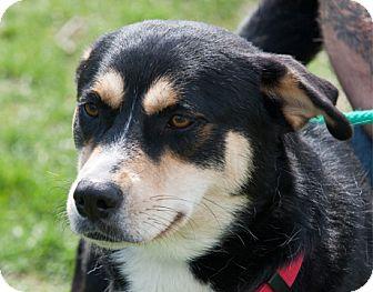 Siberian Husky Mix Dog for adoption in Harvard, Illinois - Athena