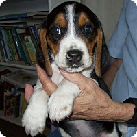 Adopt A Pet :: Miles - Westfield, NY