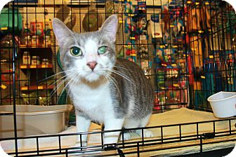 Domestic Shorthair Cat for adoption in Rochester, Minnesota - Tomorrow