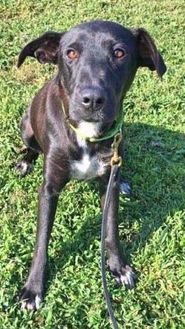 Labrador Retriever Mix Dog for adoption in Spring City, Pennsylvania - Pearl