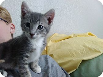 Domestic Shorthair Kitten for adoption in Clearwater, Florida - Zion
