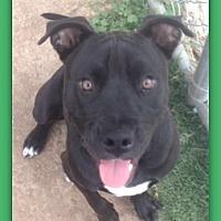 Adopt A Pet :: Blu R2-D2 28820 - Pampa, TX