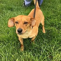 Adopt A Pet :: Blondie (Peanut) - Downingtown, PA