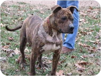 American Pit Bull Terrier Mix Dog for adoption in Minneapolis, Minnesota - Justice