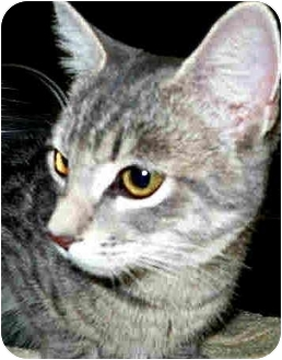 Domestic Shorthair Cat for adoption in San Clemente, California - PHOEBE