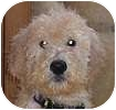 Goldendoodle Mix Puppy for adoption in Hamilton, Ontario - Marty, Billy and Clay