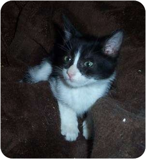 Domestic Shorthair Kitten for adoption in Columbia, South Carolina - Timothy