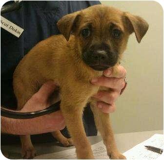 Shepherd (Unknown Type) Mix Puppy for adoption in Phoenix, Arizona - Julie