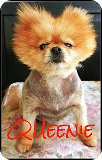 Pomeranian Dog for adoption in Escondido, California - Queenie