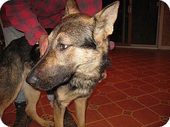 German Shepherd Dog Dog for adoption in Portland, Maine - Zane