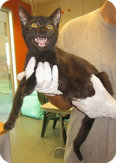 Domestic Shorthair Cat for adoption in Westminster, California - Onyx