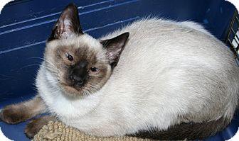 Siamese Cat for adoption in Asheville, North Carolina - Geisha